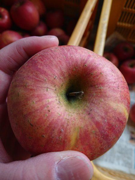会津産訳ありリンゴ