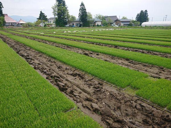 稲の成長。会津コシヒカリ