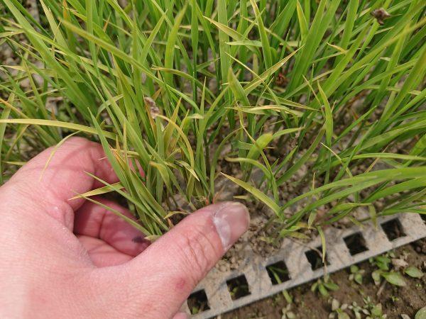 福島県のお米