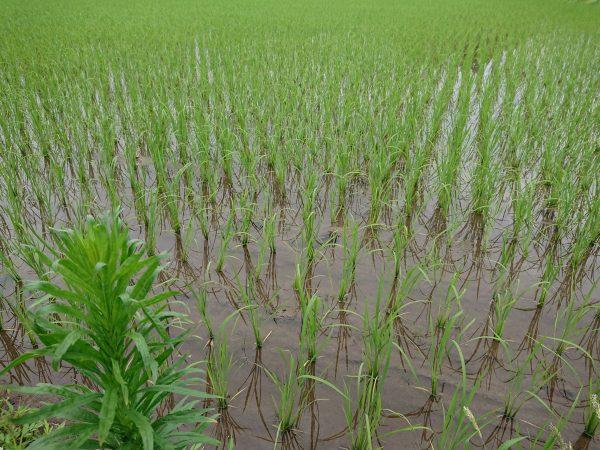 美味しいお米の栽培
