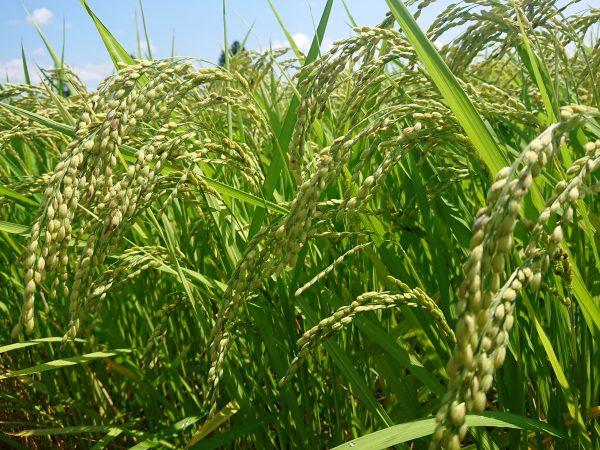 成長した稲の写真