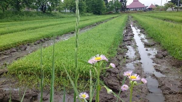 30年度の会津米の田植え間近です。