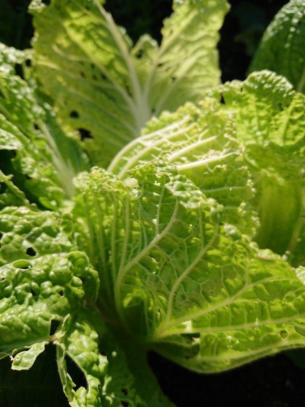 ご近所から野菜をもらう(20キロ以上は送料無料)