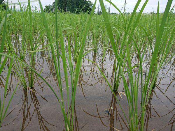 冷夏に強いお米とは。。
